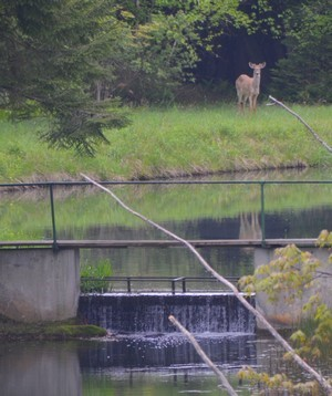 Deer sighting at the pond 300