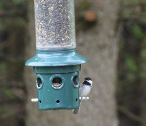 chicadee at the feeder